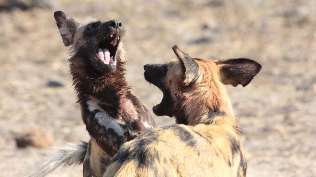 Dvojí pohled na psy - divocí a ochočení. I to nabídne dokument na Discovery Channel.